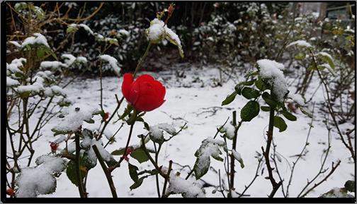 La rose des neiges